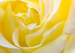 yellow_rose_4